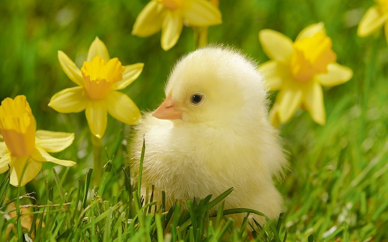 birds-grass-spring-chickens-daffodils-yellow-flowers-wallpaper-173411