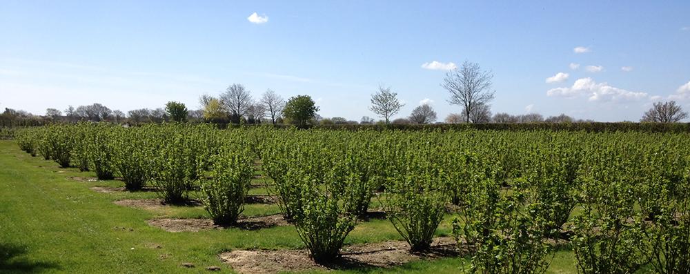 gooseberry-field-spring