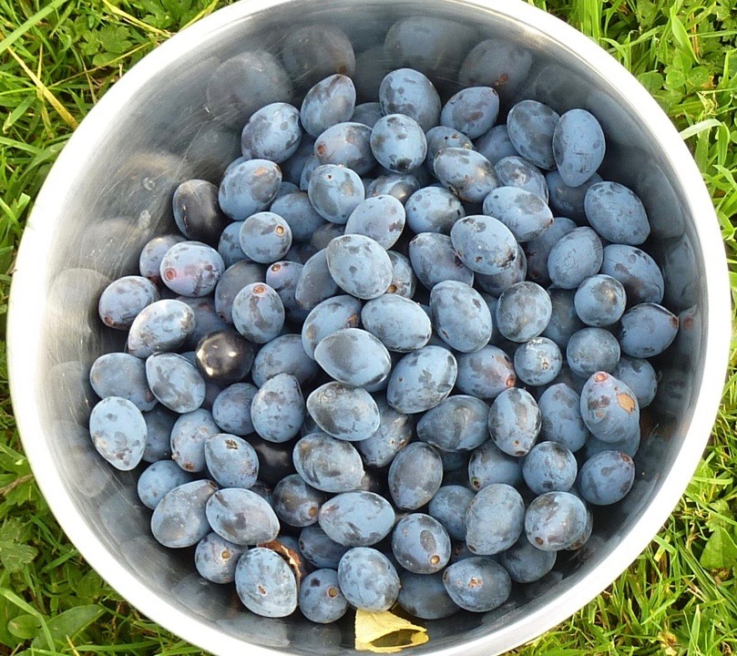 damsons-in-the-bowl-1